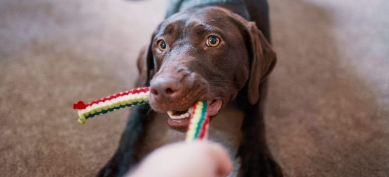 A cute dog playing with a toy.