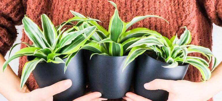 person holding three houseplants