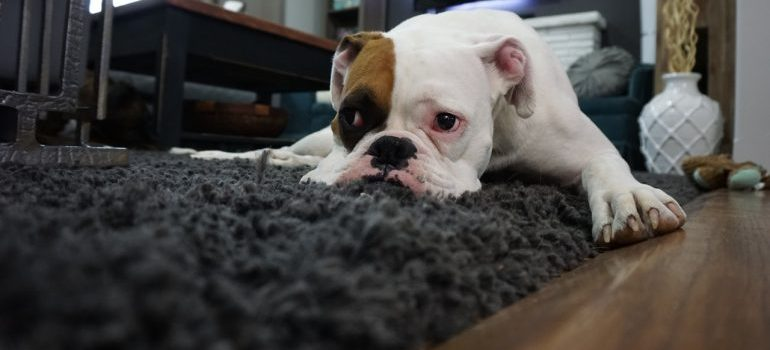 Cute white and and brown dog lying on a black rug