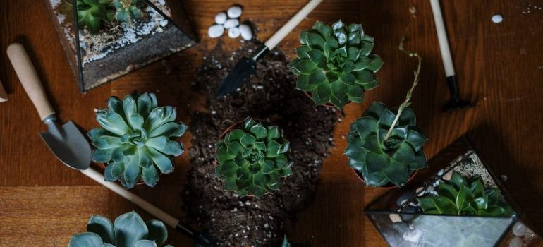 Succulent plants with gardening tools.